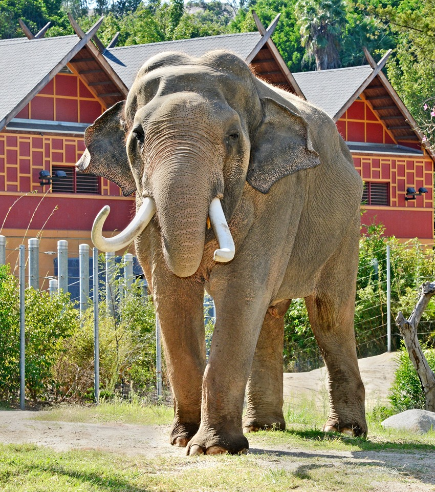 Behind-the-Scenes Tour: Asian Elephants